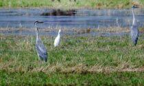 I terreni agricoli si riempiono di aironi e ibis sacri