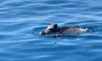 In Liguria i cinghiali nuotano in mare: aggredita anziana coppia in spiaggia