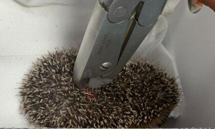 Volontari salvano riccio imprigionato nella gabbietta di un tappo di spumante
