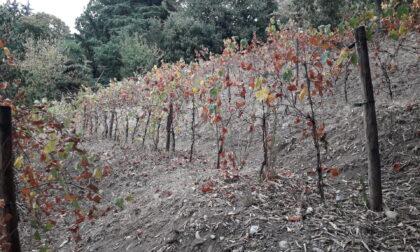 Il vigneto di uva Delizia abbandonato all'incuria
